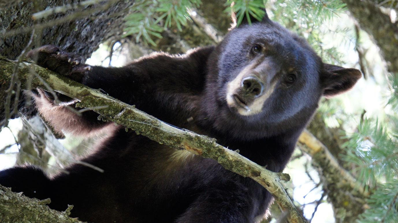 Wild Black Bear Idaho