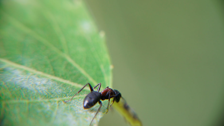 Curious Idahoan Ant
